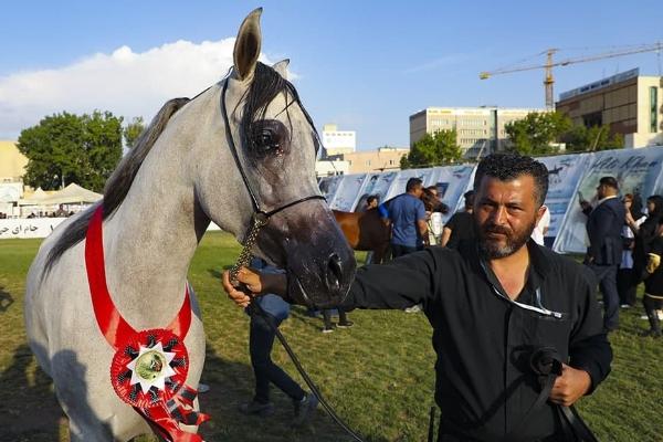 دومین جشنواره ملی زیبایی اسب عرب در اردبیل+ عکس